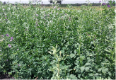Lucerne Alfalfa WL 625 HQ from Kenya Highland Seeds