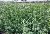 Lucerne Alfalfa from Kenya High;and Seeds