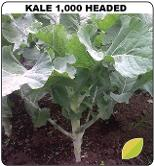 Kale 1000 headed from Kenya Highland Seed